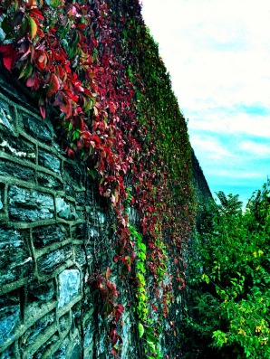 ivy-stone-wall