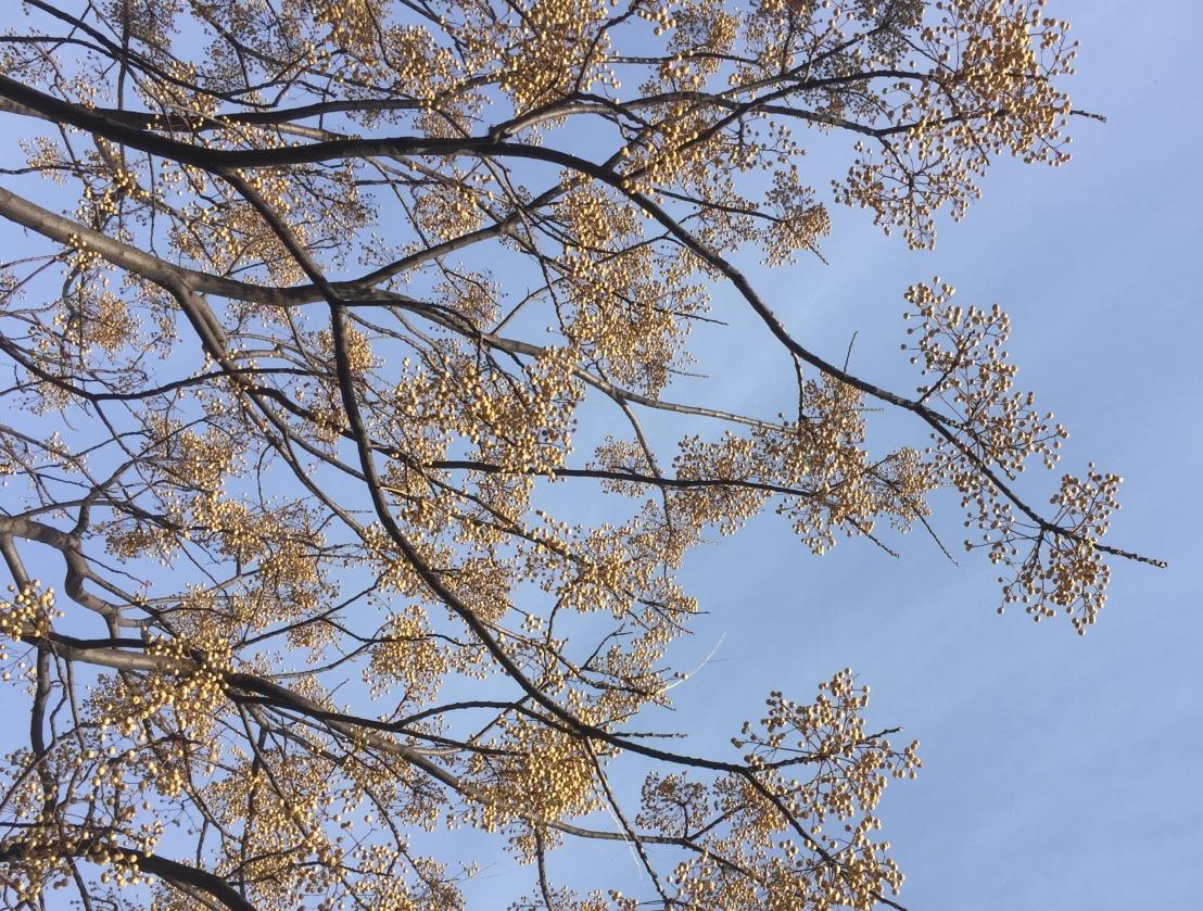 Racimos de árbol de paraíso