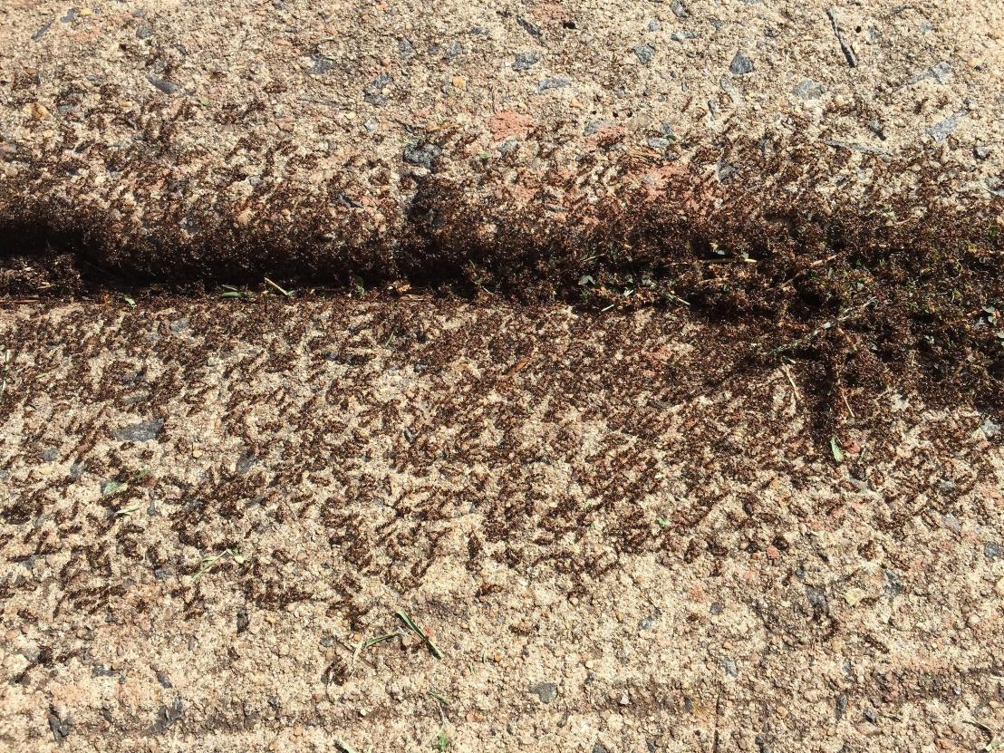 Ants swarming