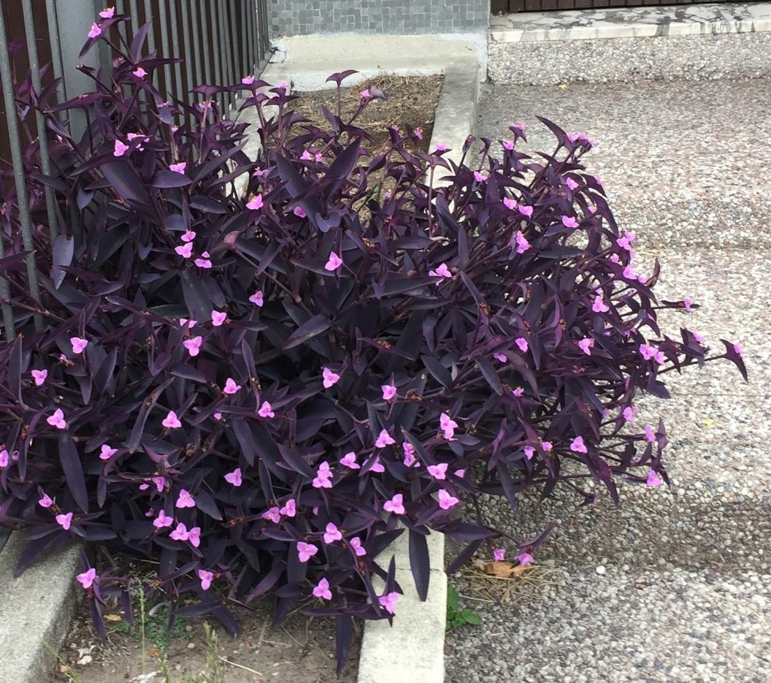Tradescantia pallida -purpurina- 01